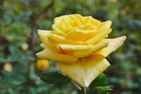 Midas touch yellow rose blooming in garden Stock Photo