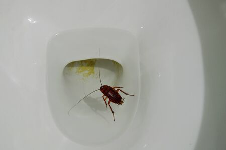 cesspool: Australian cockroach drown and floating in toilet sewer