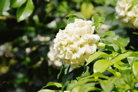 orange jasmine tropical flower scented on night blooming in garden
