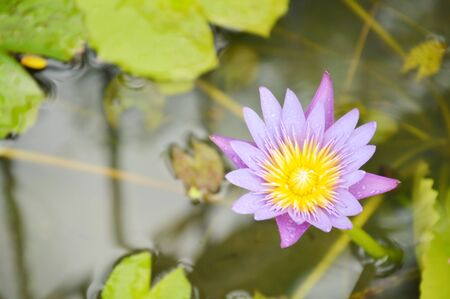 lotus lily flower on water in rainy day