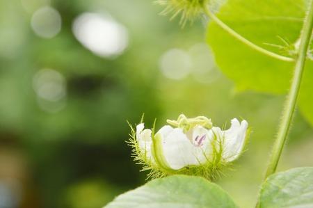scarlet fruit passionflower or passiflora foetida tropical herb blooming in backyard garden