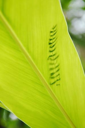 shadow of Acacia leaf falling on galangal leaf in garden Stock Photo