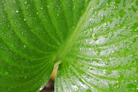 drop of water on philodendron leaf in garden