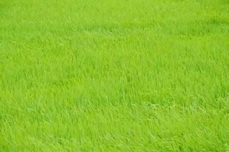 grass flowering from winter windy blowing in field