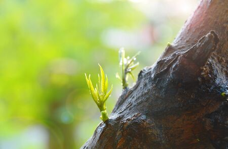 young mango leaf growth from tree trunk in garden