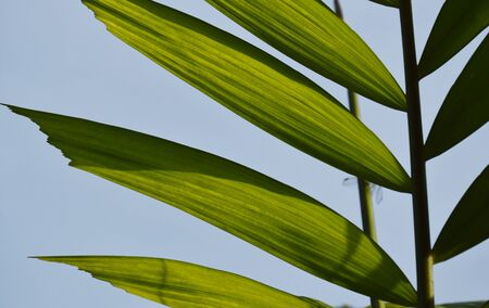 galangal leaf on sky background in morning