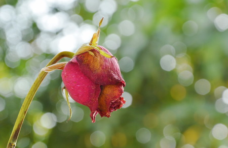 red rose wither on branch in garden