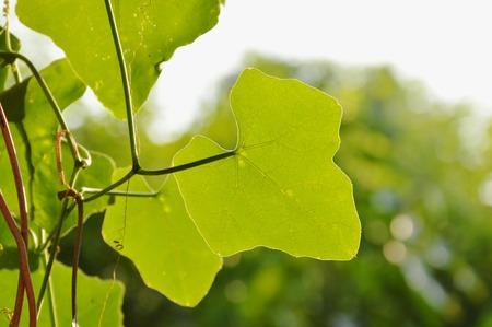 ivy gourd leaf hanging in garden