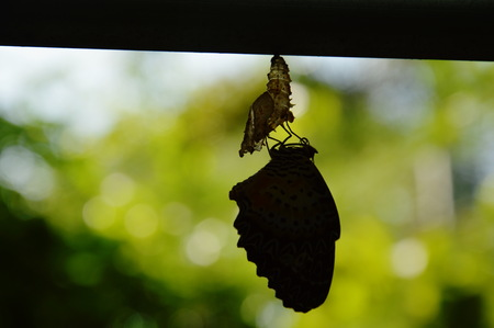 silhouette butterfly metamorphosis from cocoon and prepare to flying on aluminum clothes line in garden Stock Photo