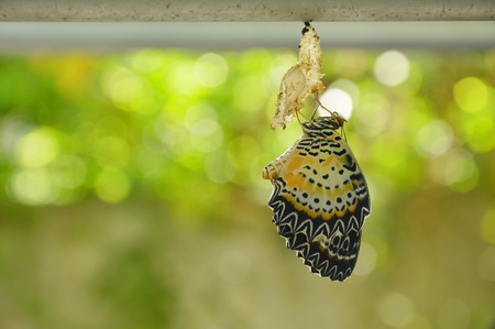 butterfly metamorphosis from cocoon and prepare to flying on aluminum clothes line in garden