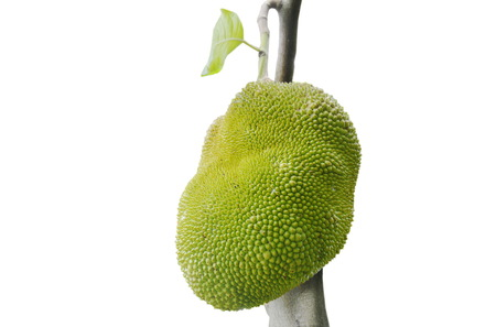 jack fruit growing hanging from branch on white background