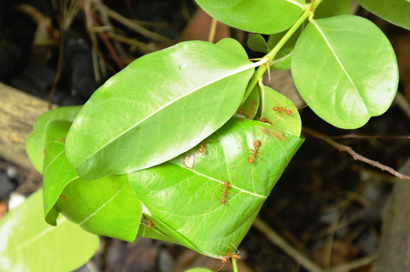 red ant protect and climbing on nest leaf in garden 스톡 콘텐츠