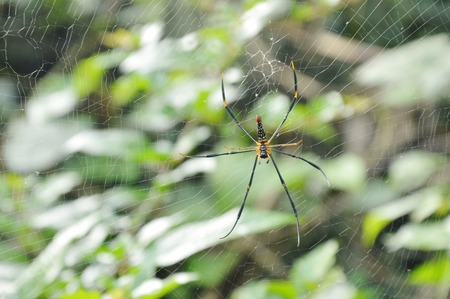 batik golden spider crawling on net waiting for victims in forest Stockfoto
