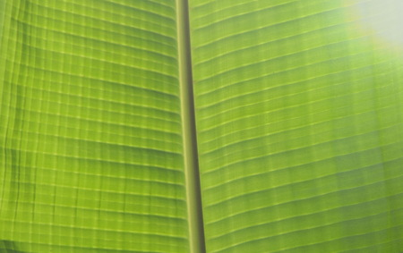 banana leaf line texture and background