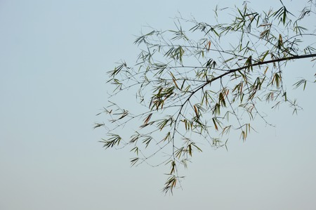 bamboo leaf flowing from wind blow on sky background
