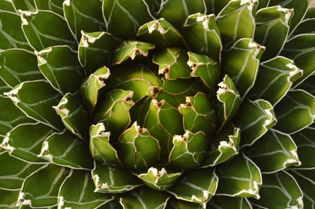 queen Victoria agave desert plant texture and background