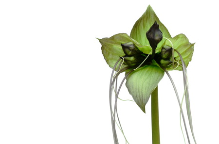 bat flower or Tacca chantrieri tropical herb on white background Stock Photo