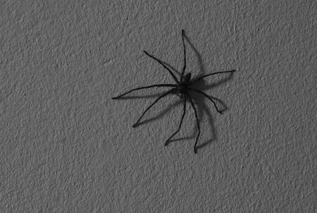 huge common huntsman spider crawling on home wall in night