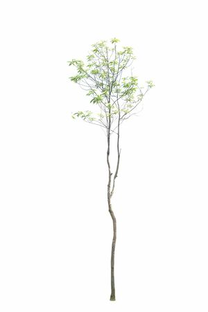 big and tall tree isolated on white background