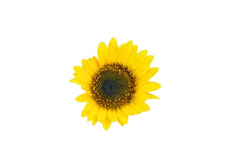 sunflower bloom isolated on white background