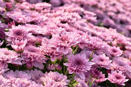 pink chrysanthemum tropical flowers blooming in garden