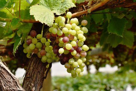green grape growth on branch in farm Stockfoto