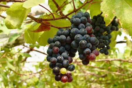 red and green grape growth on branch in farm