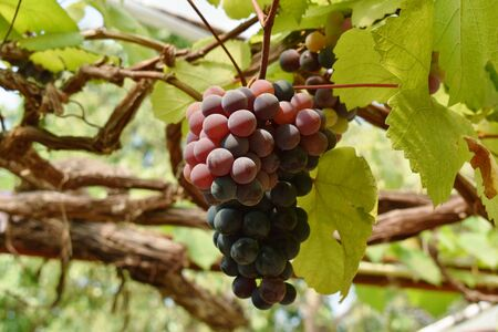 red grape growth on branch in farm Stockfoto