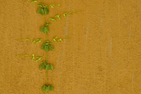 Mexican daisy climbing on home cement wall Stockfoto