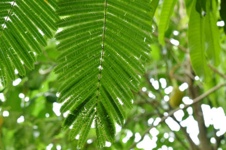 acacia leaf hanging from branch flowing from wind blow in garden