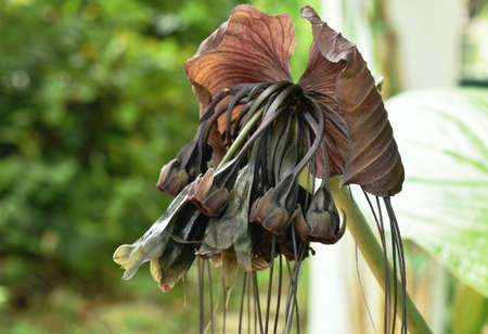 bat flower or Tacca chantrieri tropical herb blooming in garden
