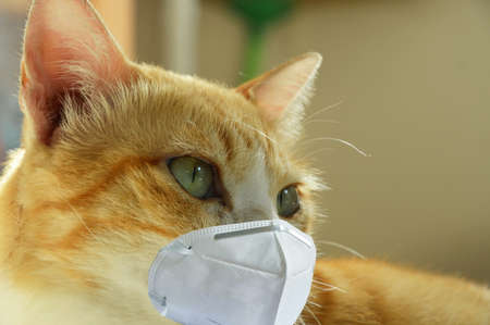 ginger cat wearing hygienic mask for protection nose and mouth