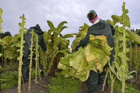 tabaco: Tabaco, hojas bajo el brazo