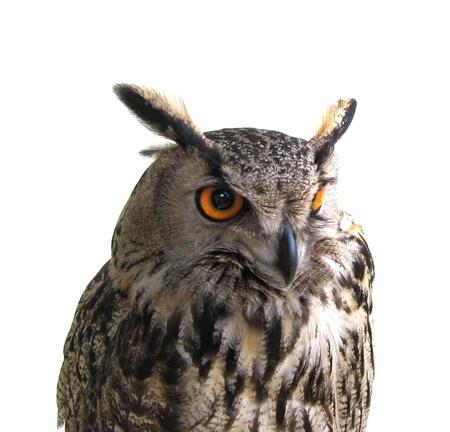 Owl, eagle-owl or bubo bubo portrait isolated. photo