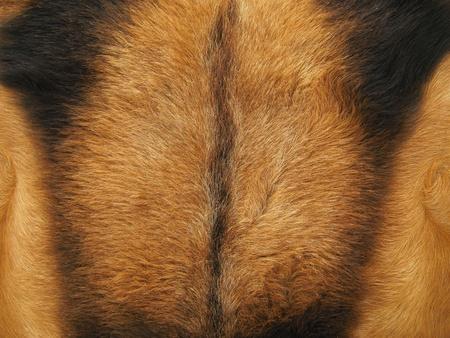 Balearic goatskin, brown hair texture. Stock Photo