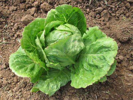 lactuca sativa: Lettuce crop. Lactuca sativa.