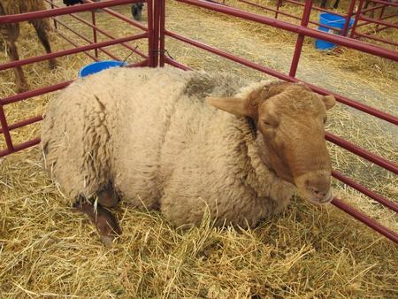 exemplary: Exemplary adult sheep on the farm.