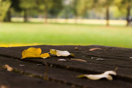 monza: Yellow leaves sitting on a wooden table in park, in one day early fall at sunset . Stock Photo