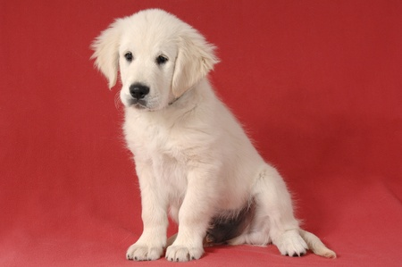 Golden retriever puppy Stock Photo - 9813535