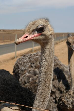 A portrait photo of an ostrich Stock Photo
