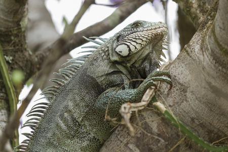 Iguana in Canaima National Park.
