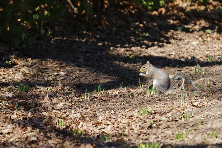 Squirrel in Central Park, New York City, USA.