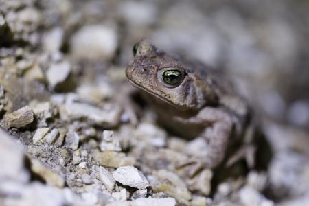 Green eyes frog.