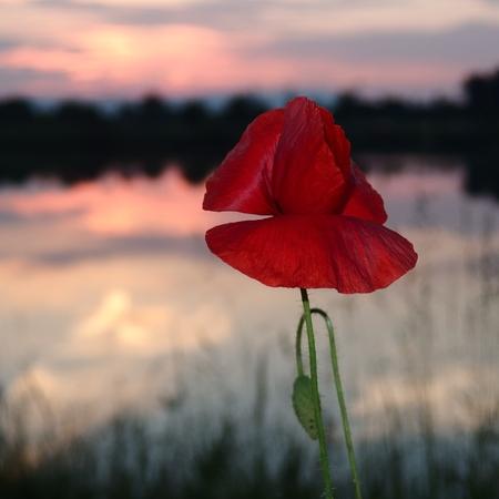 Coquelicot fleuri au coucher du soleil, magnifiquement éclairé Banque d'images - 53794333