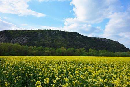 colza: colza fields and blue sky
