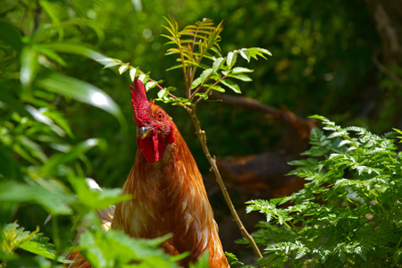 Biological breeding of hens in the wild