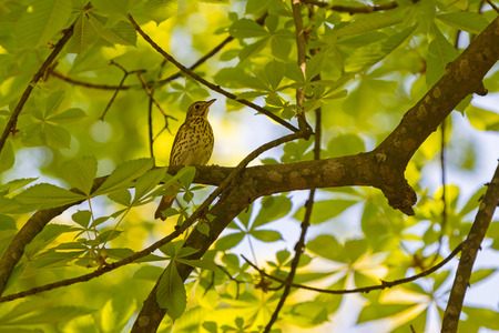 Turdus philomelos, thrush sitting on branch of tree