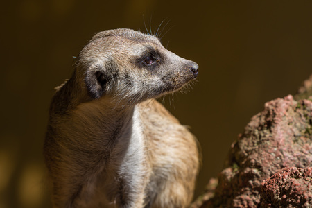 portrait of surikata, Meerkat and blurred background