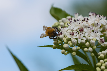 bee pollinates a big white flower