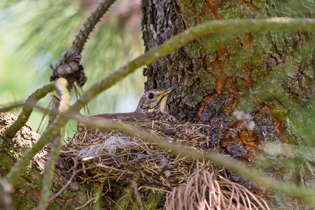 thrush sitting on its nest on tree branches Stock Photo
